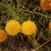 Leucospermum prostratum - Photo (c) Sandra Falanga, algunos derechos reservados (CC BY-NC)