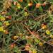 Hermannia multiflora - Photo (c) Jeremy Gilmore, μερικά δικαιώματα διατηρούνται (CC BY)