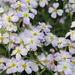 Malcolmia flexuosa naxensis - Photo (c) Σάββας Ζαφειρίου (Savvas Zafeiriou), some rights reserved (CC BY-NC)