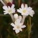 Gnidia pinifolia - Photo (c) carinalochner, algunos derechos reservados (CC BY-NC)