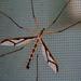 Pediciidae - Photo (c) Bob Travis, μερικά δικαιώματα διατηρούνται (CC BY-NC)