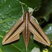 Brown-Banded Hunter Hawkmoth - Photo (c) Vijay Anand Ismavel, some rights reserved (CC BY-NC-SA), uploaded by Dr. Vijay Anand Ismavel MS MCh