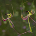 Smooth-lipped Spider Orchid - Photo (c) Keith Martin-Smith, some rights reserved (CC BY-NC-ND)