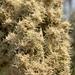 Brachylaena transvaalensis - Photo (c) Troos van der Merwe, some rights reserved (CC BY-NC)