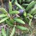 Quercus geminata - Photo (c) mollierivera, algunos derechos reservados (CC BY-NC)