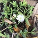 White Trailing Iceplant - Photo (c) Susan J. Hewitt, some rights reserved (CC BY-NC)