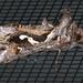 Chrysodeixis argentifera - Photo (c) Victor W Fazio III, algunos derechos reservados (CC BY-NC)