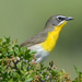 Western Yellow-breasted Chat - Photo (c) Steven Mlodinow, some rights reserved (CC BY-NC)