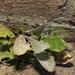 Podosphaera erigerontis-canadensis - Photo (c) Stephen James McWilliam,  זכויות יוצרים חלקיות (CC BY)