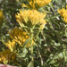 Yellow Rabbitbrush - Photo (c) Todd Ramsden, some rights reserved (CC BY-NC)