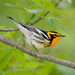 Blackburnian Warbler - Photo (c) NatureServe, some rights reserved (CC BY-NC-SA)