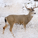 Mule Deer - Photo (c) Marshal Hedin, some rights reserved (CC BY-NC-SA)