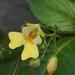 Impatiens parviflora - Photo (c) Denis Ivanov, algunos derechos reservados (CC BY-NC)
