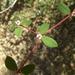 Euphorbia polycarpa mejamia - Photo (c) Fernando Pío León, some rights reserved (CC BY-NC)