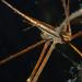 Cangrejo Flecha Amarilla - Photo (c) Logan Crees, algunos derechos reservados (CC BY-NC)