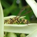 Ropalidia ornaticeps - Photo (c) Kritsada Moomuang, algunos derechos reservados (CC BY-NC)