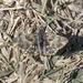 Carcharodus orientalis - Photo (c) Kristof Zyskowski, algunos derechos reservados (CC BY-NC-ND)