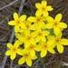 Sebaea exacoides - Photo (c) Dave Richardson,  זכויות יוצרים חלקיות (CC BY-NC)