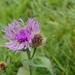 Centaurea phrygia pseudophrygia - Photo (c) Wolfgang Jauch, algunos derechos reservados (CC BY-SA)