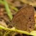 Mariposa Sátira Variable - Photo (c) Ricardo Arredondo T., algunos derechos reservados (CC BY-NC)