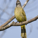 Pycnonotus flavescens - Photo (c) Mike (NO captive birds) in Thailand,  זכויות יוצרים חלקיות (CC BY-NC-ND)