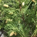 California Incense-Cedar - Photo (c) notspartacus, some rights reserved (CC BY-NC)