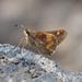 Saltarina de la Sombra Mexicana - Photo (c) jamesgiroux, algunos derechos reservados (CC BY-NC)