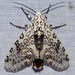 Giant Leopard Moth - Photo (c) Scott Buckel, some rights reserved (CC BY-NC)