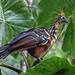 Hoatzin - Photo (c) David Cook Wildlife Photography, algunos derechos reservados (CC BY-NC)