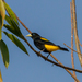 Yellow-rumped Cacique - Photo (c) Cullen Hanks, some rights reserved (CC BY-NC)