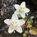Grass-of-Parnassus - Photo (c) Lori Owenby, some rights reserved (CC BY-NC)