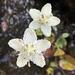 Parnassia asarifolia - Photo (c) Lori Owenby, μερικά δικαιώματα διατηρούνται (CC BY-NC)