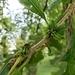 Andricus quercusfrondosus - Photo (c) Andy Deans, algunos derechos reservados (CC BY)