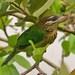 Psilopogon viridis - Photo (c) Sandeep, algunos derechos reservados (CC BY)