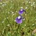 Utricularia purpurascens - Photo (c) Dinesh Valke,  זכויות יוצרים חלקיות (CC BY-NC-ND)