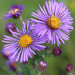 New England Aster - Photo (c) musicmanz, some rights reserved (CC BY-NC)