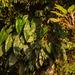 Thaumatophyllum solimoesense - Photo (c) Gerry van Tonder, all rights reserved