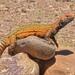 Uromástix de Marruecos - Photo (c) Alexandre Roux, algunos derechos reservados (CC BY-NC-SA)