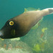 Black Reef Leatherjacket - Photo (c) John Turnbull, some rights reserved (CC BY-NC-SA)