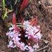 Brackenridgea arenaria - Photo (c) desertnaturalist, alguns direitos reservados (CC BY)
