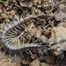 Otostigmus scaber - Photo (c) Ryosuke Kuwahara, algunos derechos reservados (CC BY-NC)