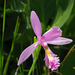 Rose Pogonia - Photo (c) sandy richard, some rights reserved (CC BY-NC)