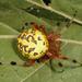 Araña Calabaza - Photo (c) cotinis, algunos derechos reservados (CC BY-NC-SA)