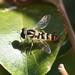 Ischiodon aegyptius - Photo (c) Sandy Rae,  זכויות יוצרים חלקיות (CC BY-SA)