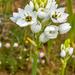 Ornithogalum thyrsoides - Photo (c) mario_mairal, μερικά δικαιώματα διατηρούνται (CC BY-NC-ND)