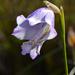 Gladiolus bullatus - Photo (c) mario_mairal, algunos derechos reservados (CC BY-NC-ND)