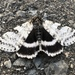 White Underwing - Photo (c) jessierendl, some rights reserved (CC BY-NC)