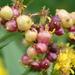 Schizomyia racemicola - Photo (c) mamiles, algunos derechos reservados (CC BY-NC-ND)