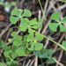 Water Clover - Photo (c) Bill Dodd, some rights reserved (CC BY-NC)