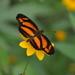 Mariposa Creciente Manchada - Photo (c) Alberto Lozano, algunos derechos reservados (CC BY-NC)